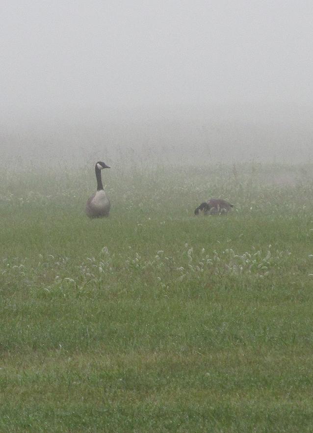 2014 08 23 Geese in fog