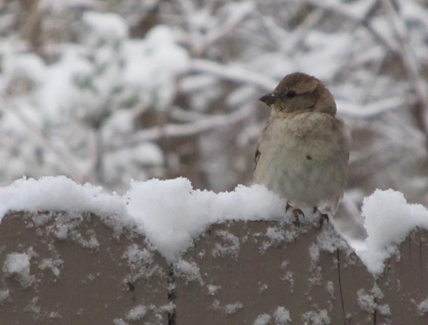 2014 04 15 sparrow